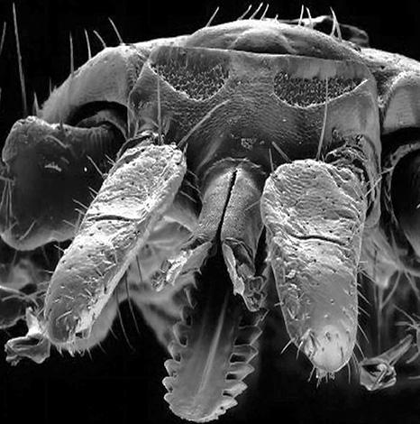 Так выглядит ротовой аппарат иксодового клеща под электронным микроскопом.