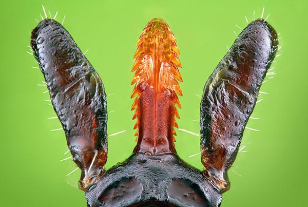 Специальные крючки, как у гарпуна, надежно удерживают паразита в теле жертвы.