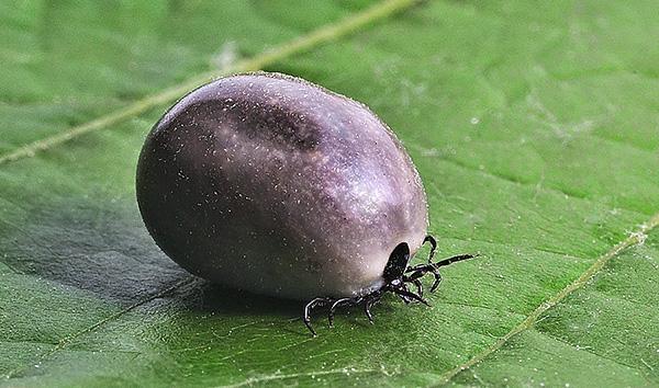 После того как самка насытится, она самостоятельно отпадывает и ищет подходящее место для откладывания яиц.