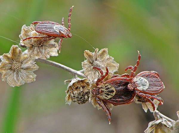 Взрослые особи Ixodes persulcatus