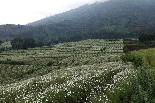 Природные инсектициды пиретрины содержатся в цветках некоторых видов ромашек.