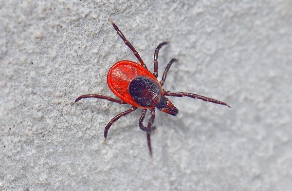 Ixodes ricinus - основной переносчик энцефалита в европейской части России.