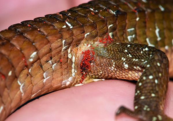 Личинки красного клеща поджидают свою жертву в траве или на почве, массово нападая при удобном случае.