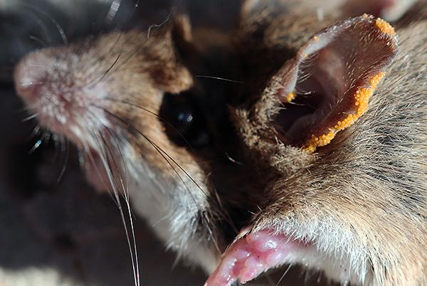 Личинки краснотелкового клеща на ухе грызуна.