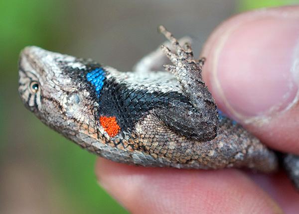 Чаще личинки нападают на насекомых и рептилий.