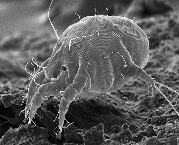 Поговорим об ушных клещах и вызываемом ими отодектозе у людей и домашних животных...