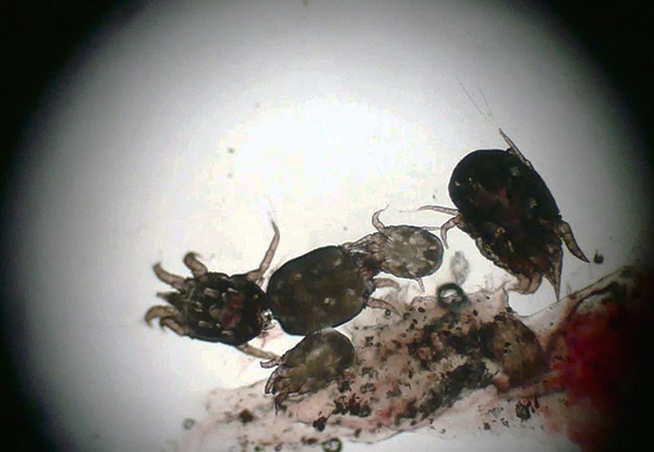 Клещи, вызывающие ушную чесотку, являются типичными паразитами.
