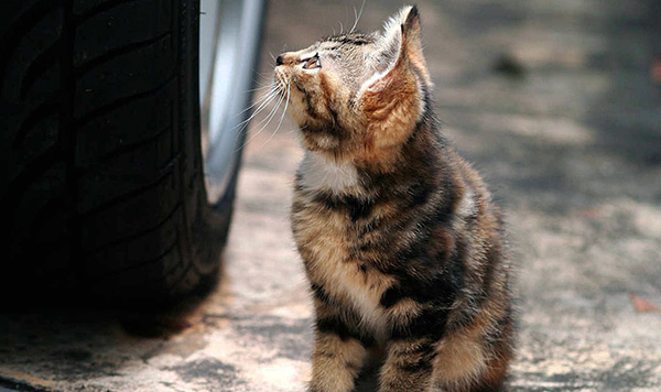 Как правило, заражение происходит при передаче паразита от бродячих кошек и собак.
