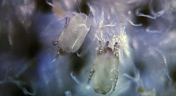 Так эти создания выглядят в оптический микроскоп.