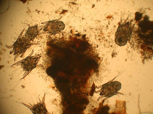 Скопление клещей Otodectes cynotis в ушных выделениях собаки.