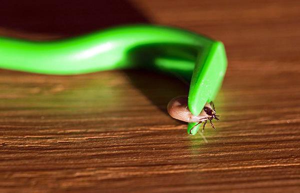 Как правило, достаточно несколько раз повернуть паразита вокруг оси, чтобы он отпал от своей жертвы.