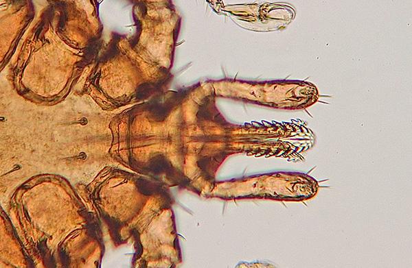 Ротовые органы клеща под микроскопом