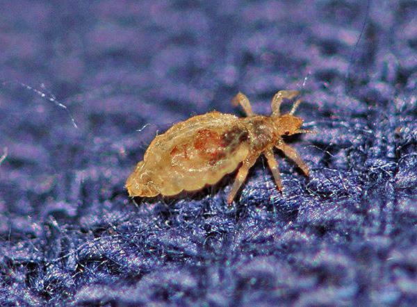 Эти кровососущие паразиты способны переносить смертельно опасные для человека заболевания.
