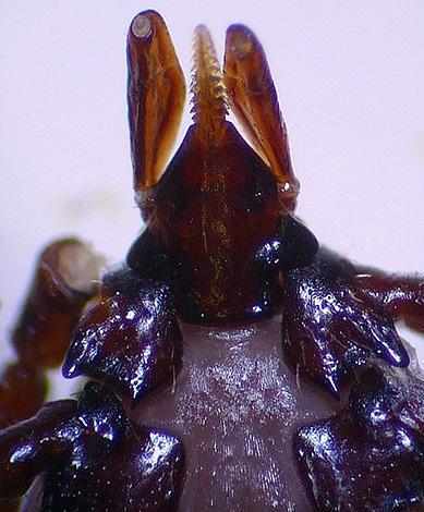 На фото хорошо виден зазубренный хоботок паразита.