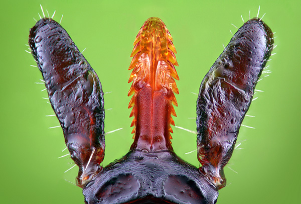 Гипостом клеща удерживается в коже подобно гарпуну.