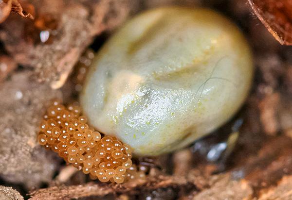 Напитавшаяся кровью самка клеща откладывает яйца с листовой опад.