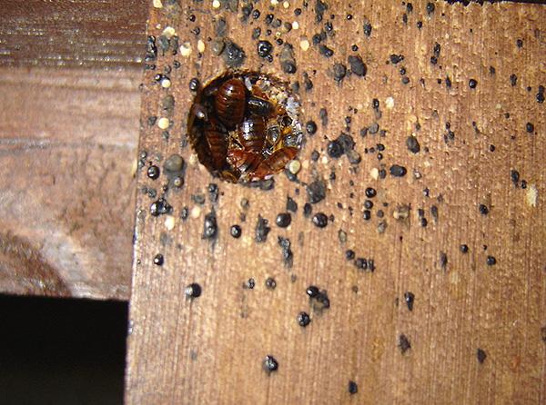 Типичное гнездо клопов в мебели - в нем находятся взрослые особи, личинки и яйца паразитов.
