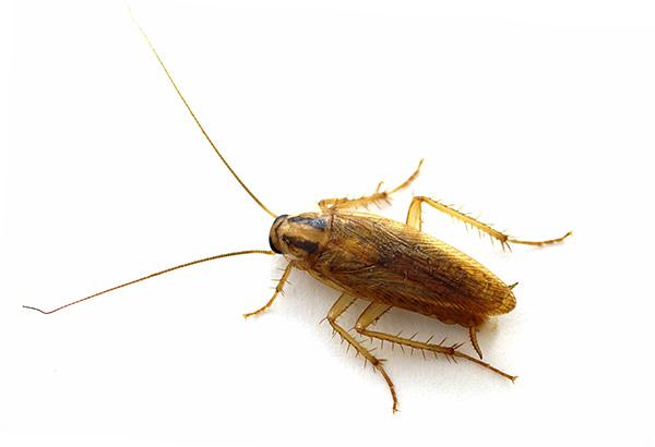 Инсектициды, входящие в состав геля и ловушек, обладают кишечным и контактным действием на насекомых.