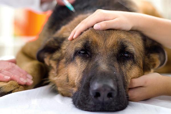 Если после укуса клеща животное стало более вялым, чем обычно - это уже повод срочно показать его врачу.