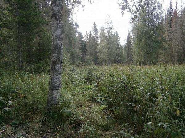 Так выглядит типичное место обитания клещей в лесу