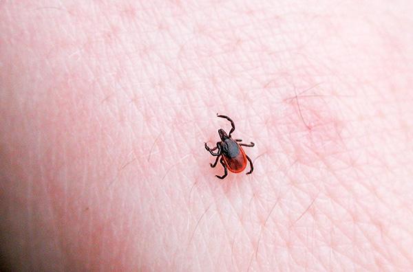 В паразите могут длительно существовать возбудители самых разных заболеваний, которые впоследствии передаются хозяину при укусе.