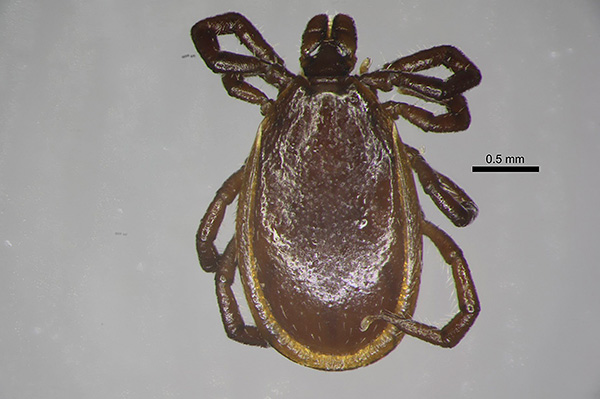 Ixodes persulcatus, самец