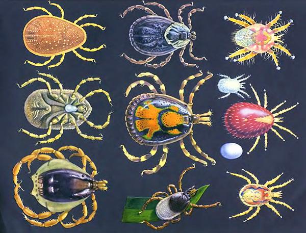 Рассмотрим общую характеристику отряда паразитиформных клещей...