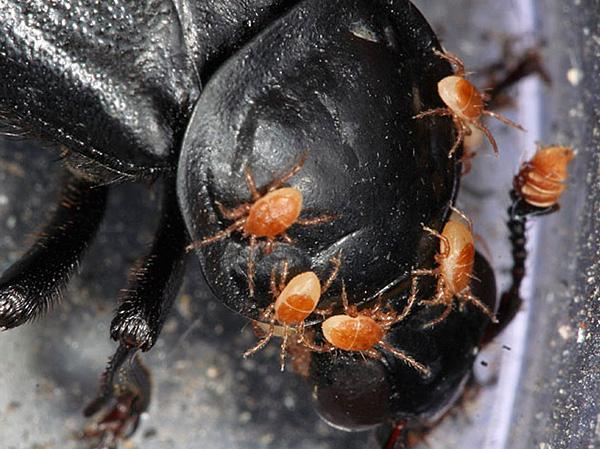Трупный клещ Poecilochirus necrophori
