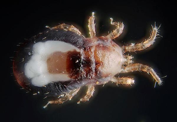 Еще один пример паразитиформного клеща - куриный (Dermanyssus gallinae)