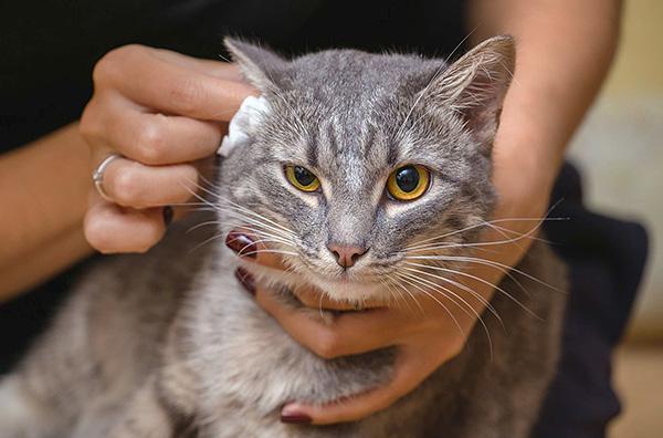 Очищение ушей у кошки