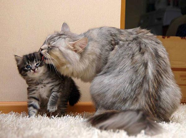 Иногда зараженная ушным клещом кошка кажется абсолютно здоровой, однако является при этом разносчиком паразита.