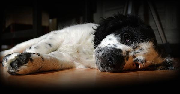 При развитии клещевой инфекции собака становится вялой, отказывается от еды.