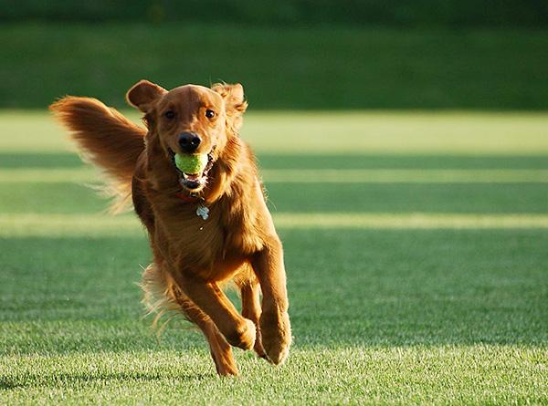 Иммунитет собаки в ряде случаев самостоятельно справляется с возбудителем инфекции, и заболевание не получает развития.