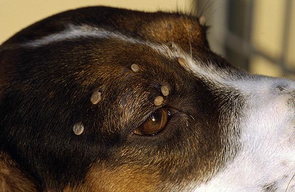 Несколько клещей на собаке - каждый из них вполне может быть носителем вируса клещевого энцефалита.