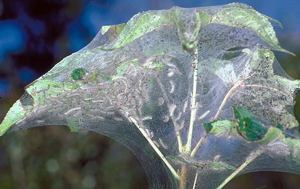 Некоторые гусеницы также формируют на пораженных растениях паутину.