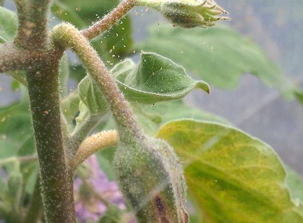 Есть несколько основных причин поражения рассады тетранихидами...