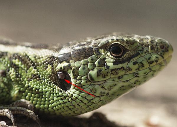 Иксодовый клещ на ящерице
