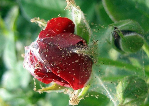 При сильном поражении растения паутинным клещом необходимо убрать все бутоны, завязи и плоды