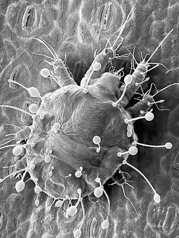Плоскотелка (фото под микроскопом)