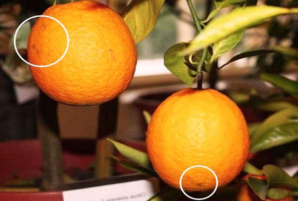 Пятна от клещей на апельсине