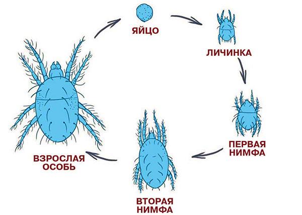 Стадии развития паутинного клеща