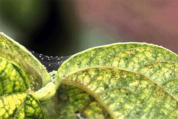 Мраморная окраска листа, пораженного паутинным клещом