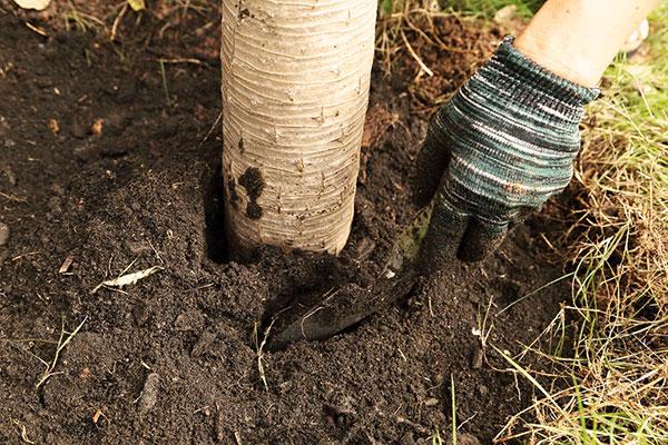 Взрыхление почвы вокруг ствола дерева против паутинного клеща