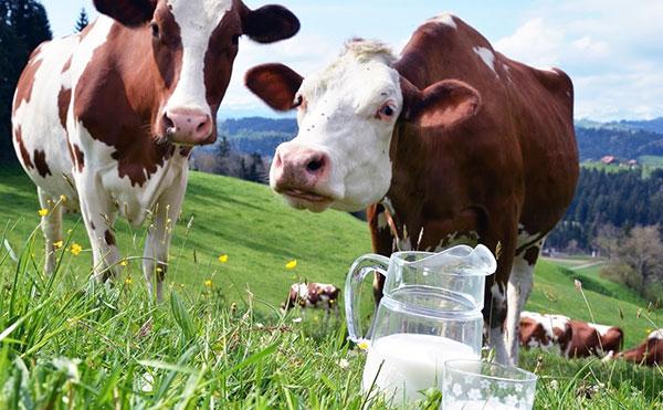 Заражение клещевым энцефалитом через молоко коз и коров