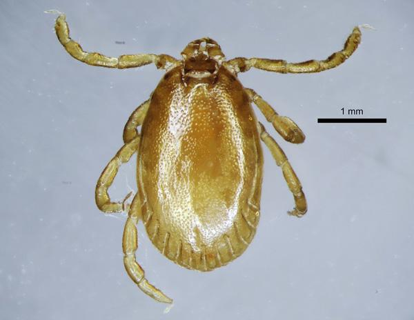 Самец клеща (вид Haemaphysalis concinna)