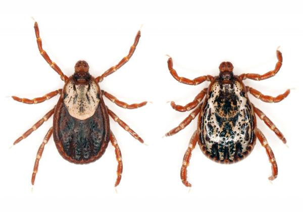 Взрослые особи клещей (вид Dermatocentor marginatus)