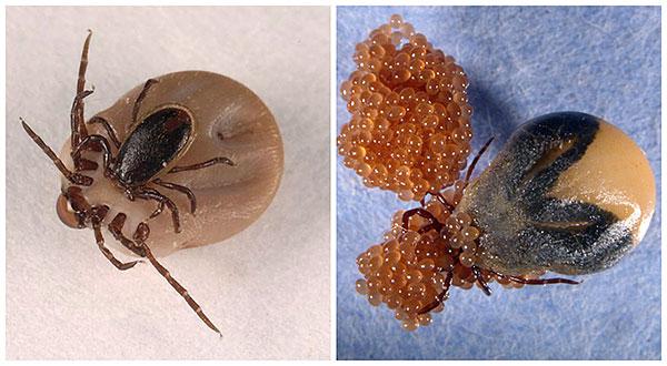 Вирус энцефалита передается клещу при копуляции и кладке яиц