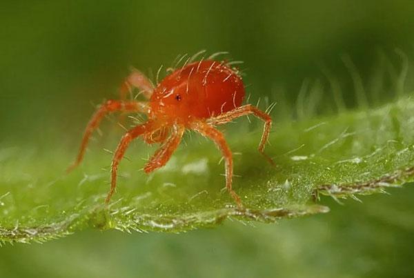 Взрослая особь фитосейулюса (Phytoseiulus persimilis)