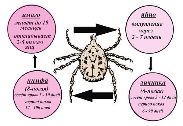 Жизненный цикл Dermacentor reticulatus