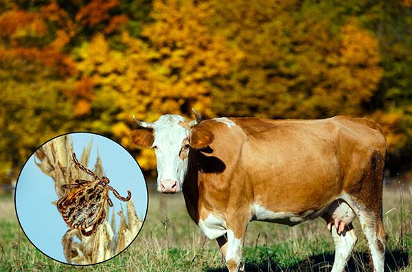 Луговой клещ активен и осенью